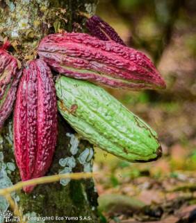 Plántula de cacao CCN-51