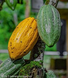 Plántula de cacao IMC-67