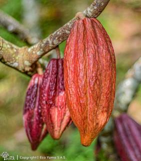 Plántula de cacao FEC-2