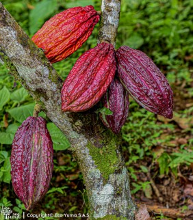 Plántula de cacao FSV-41