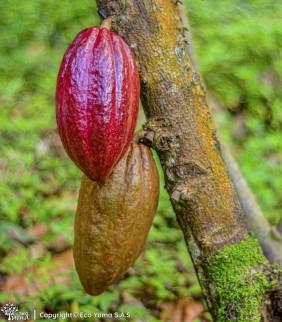 Plántula de cacao FTA-2