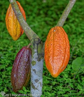 Plántula de cacao TCS-06