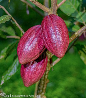 Plántula de cacao TCS-19