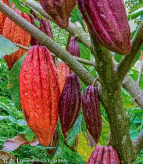 Plántula de cacao FEAR-05