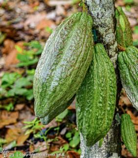 Plántula de cacao FSA-12
