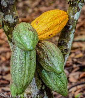 Plántula de cacao FSA-13