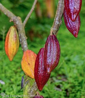 Plántula de cacao FLE-3