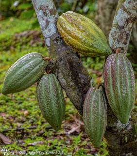 Plántula de cacao CAUCACIAS