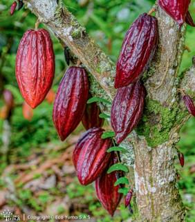 Plántula de cacao ICS-95