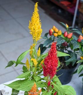 Celosía - Planta Ornamental