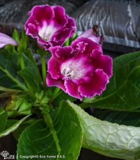 Gloxinia - Planta Ornamental