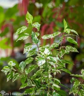 Hibiscus variegado - Planta...