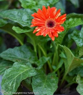 Gerbera - Planta Ornamental