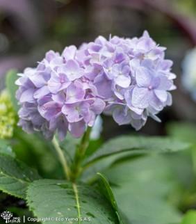 Hortensia - Planta Ornamental