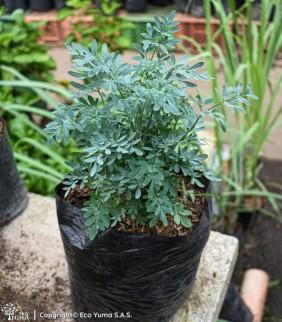 Ruda - Planta Ornamental