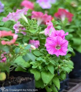 Petunia - Planta Ornamental