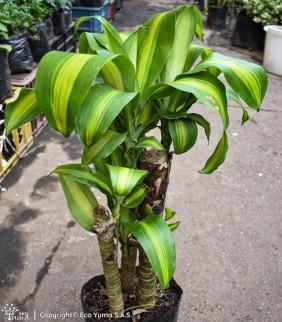 Dracena - Planta Ornamental