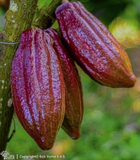 Plántula de cacao FMA-7