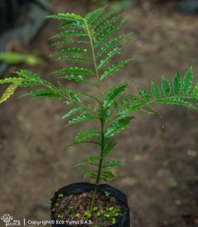 Abarco - Árbol Forestal