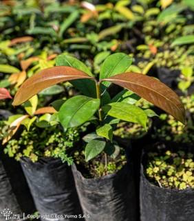 Mangostino - Árbol Frutal