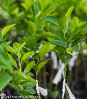Cítricos - Árbol Frutal