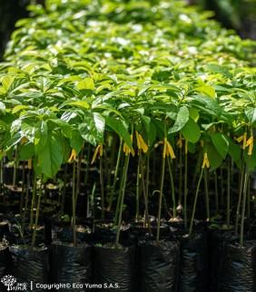 Aguacate - Árbol Frutal