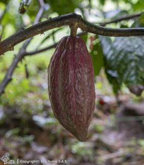 Plántula de cacao TCS-13