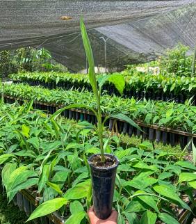 Plantines de Plátano