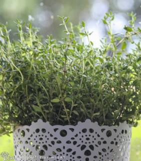 Tomillo - Planta Aromática